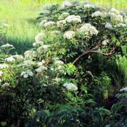 Sambucus canadensis (common elderberry), form, branches, inflorescence, habit