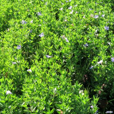 Ruellia humilis (wild petunia), form, stems, leaves, flowers