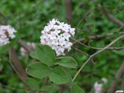 Viburnum 'Cayuga' (cayuga viburnum), inflorescence, leaves