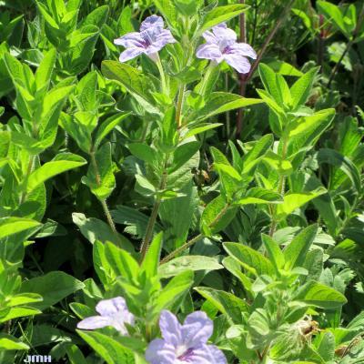 Ruellia humilis (wild petunia) flowers, leaves