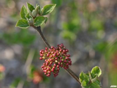 Viburnum carlesii (Korean spice viburnum), buds, emerging leaves