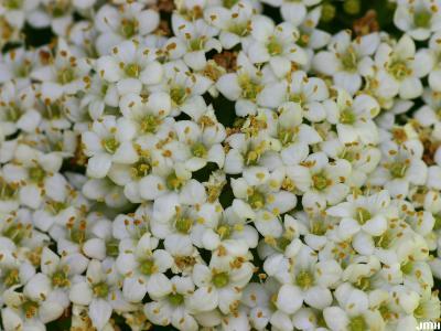 Viburnum lantana (wayfaring tree), inflorescence, stamens, pistils, pollen apparent on some pistils