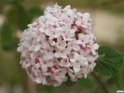 Viburnum carlesii (Korean spice viburnum), inflorescence