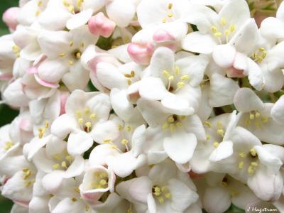 Viburnum farreri Stearn (fragrant viburnum), inflorescence, flowers, buds