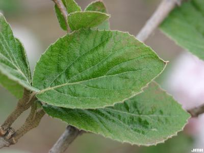 Viburnum carlesii (Korean spice viburnum), leaf with leaves and twigs in background