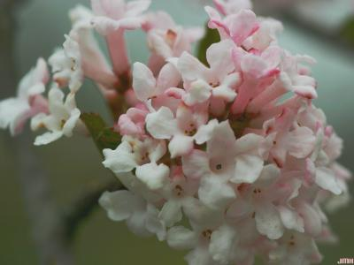 Viburnum farreri Stearn (fragrant viburnum), inflorescence, buds