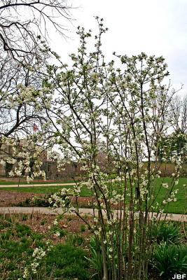 Viburnum farreri 'Album' (white fragrant viburnum), form, early flowers