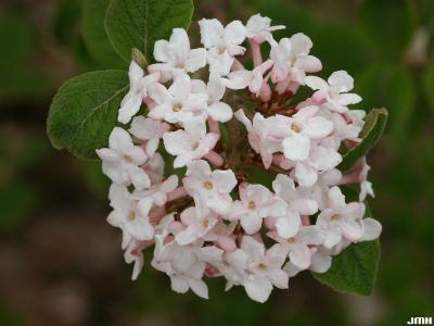 Viburnum bitchiuense (yeddo viburnum), inflorescence, flowers