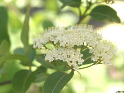 Viburnum cassinoides (witherod), inflorescence, anthers, cyme