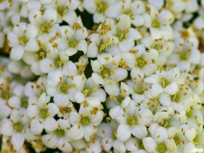 Viburnum lantana (wayfaring tree), inflorescence, anthers, pistils, some pollen visible