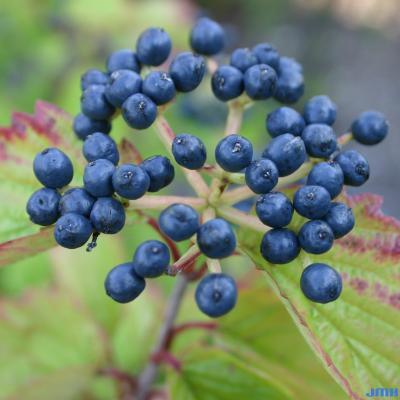 Viburnum dentatum (southern arrowwood), cluster of fruits, drupes