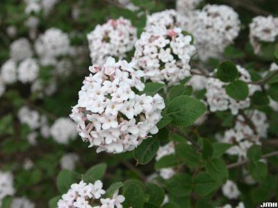 Viburnum bitchiuense (yeddo viburnum), inflorescence, leaves