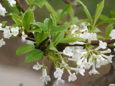 Viburnum farreri 'Album' (white fragrant viburnum), flowers, dentate leaves