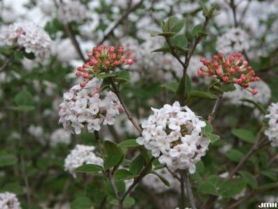 Viburnum bitchiuense (yeddo viburnum),  inflorescence, inflorescence in bud, buds