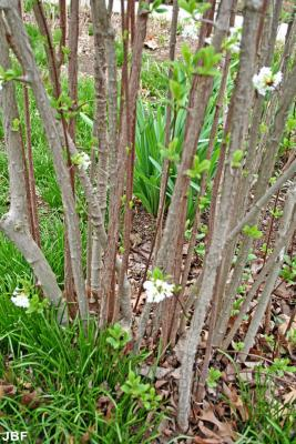 Viburnum farreri 'Album' (white fragrant viburnum), bark, branches