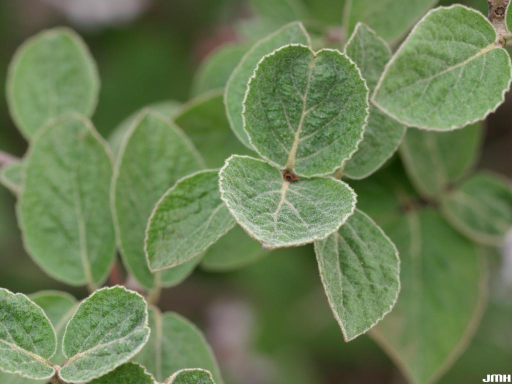 Viburnum sp. (unknown)  leaves, leaf hairs