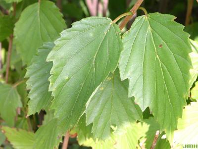 Viburnum dentatum (southern arrowwood), dentate leaves