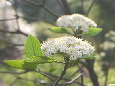 Viburnum lantana 'Mohican' (Mohican wayfaring tree), close-up of inflorescence, stamens, leaves, leaf buds