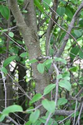 Viburnum prunifolium (black-haw), branches, bark