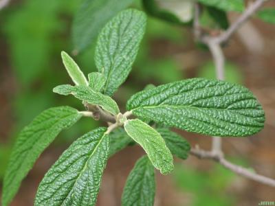 Viburnum rhytidophyllum (leatherleaf viburnum), leaves