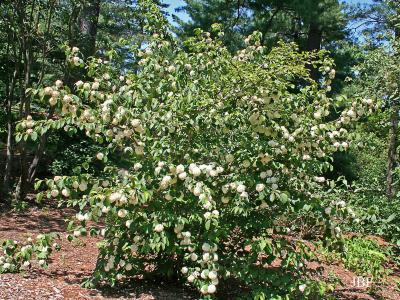 Viburnum plicatum (doublefile viburnum), form, inflorescence, leaves