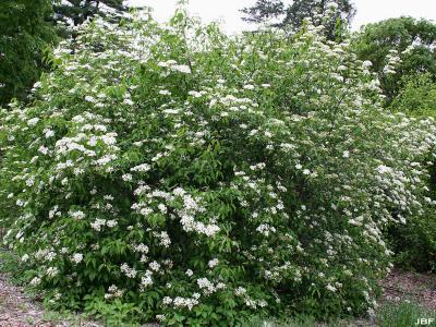 Viburnum prunifolium (black-haw), habit, inflorescence and leaves
