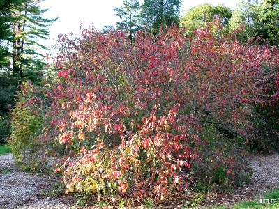 Viburnum prunifolium (black-haw), habit, fall color, other trees in background
