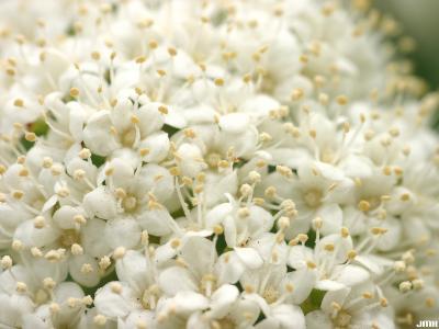 Viburnum rafinesquianum var. affine (C.K.Schneid.) House (downy arrowwood), flowers, petals, pale stamens, pistils visible