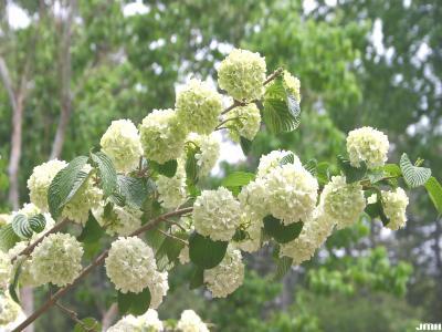 Viburnum plicatum (doublefile viburnum), branches, inflorescence