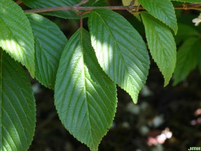 Viburnum plicatum (doublefile viburnum), dentate-serrate leaves