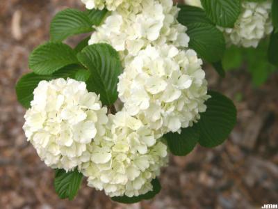 Viburnum plicatum (doublefile viburnum), flowers