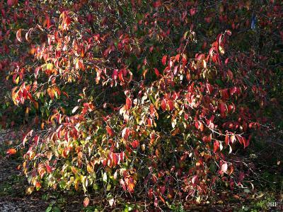 Viburnum prunifolium (black-haw), habit, fall color