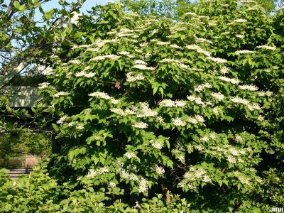 Viburnum opulus (European cranberry-bush), inflorescence and branches