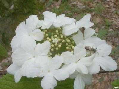 Viburnum lantanoides (hobblebush), inflorescence, sterile flowers with one insect, fertile flowers in center, buds