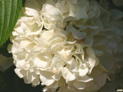 Viburnum plicatum (doublefile viburnum), inflorescence, sterile flowers