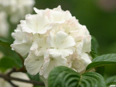 Viburnum plicatum (doublefile viburnum), sterile flowers