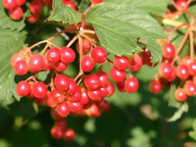 Viburnum opulus (European cranberry-bush), clusters of fruits, berry-like drupes