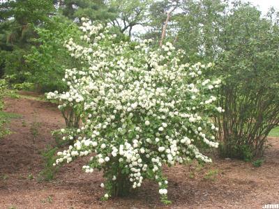 Viburnum plicatum (doublefile viburnum), single shrub, habit, inflorescence