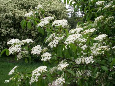 Viburnum prunifolium (black-haw), branches with inflorescence (cymes), other viburnums in background