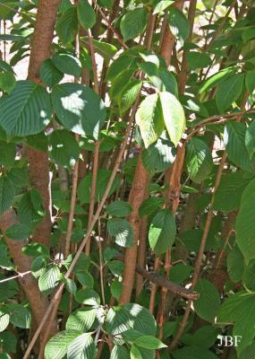 Viburnum plicatum (doublefile viburnum), branches with leaves, habit