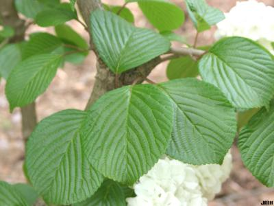 Viburnum plicatum (doublefile viburnum), leaves with pinnate venation