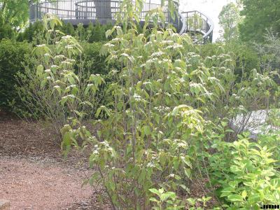 Viburnum setigerum Hance (tea viburnum), upright habit, leaves