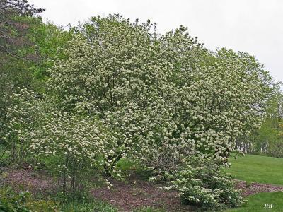 Viburnum × jackii (Jack's viburnum) form, habit, shrub in full bloom, other shrubs in foreground