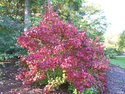 Viburnum sieboldii 'Wavecrest' (Wavecrest Siebold's viburnum),  habit, upright form, fall color