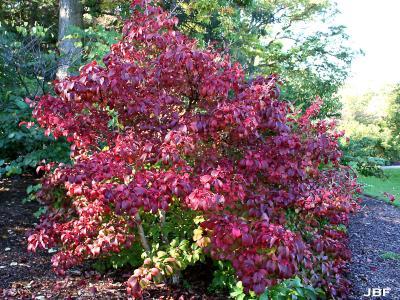 Viburnum sieboldii 'Wavecrest' (Wavecrest Siebold's viburnum). habit, form, fall color