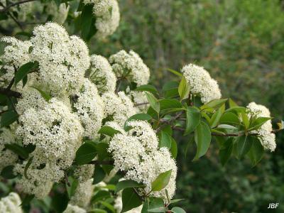 Viburnum × jackii (Jack's viburnum), inflorescence, flowers
