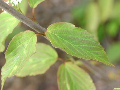 Viburnum setigerum Hance (tea viburnum), opposite, leaves, margins