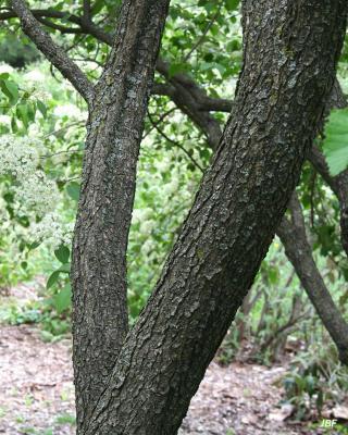 Viburnum × jackii (Jack's viburnum), bark, other plants in background