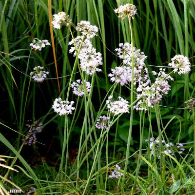 Allium cernuum Roth. (nodding wild onion),  habit, flowers