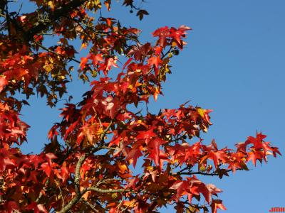 Liquidambar styraciflua 'Palo Alto' (Palo Alto sweet-gum), branches, leaves, fall color